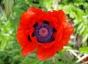 Poppy ii