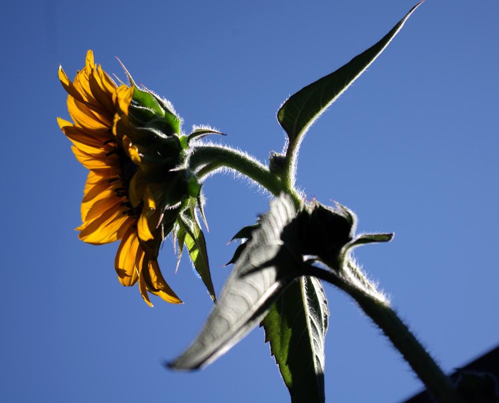 sunflower xi