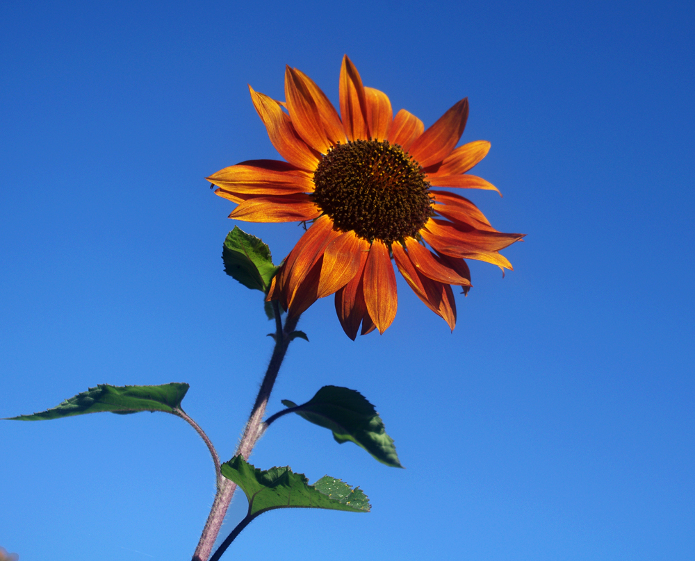 sunflower xii