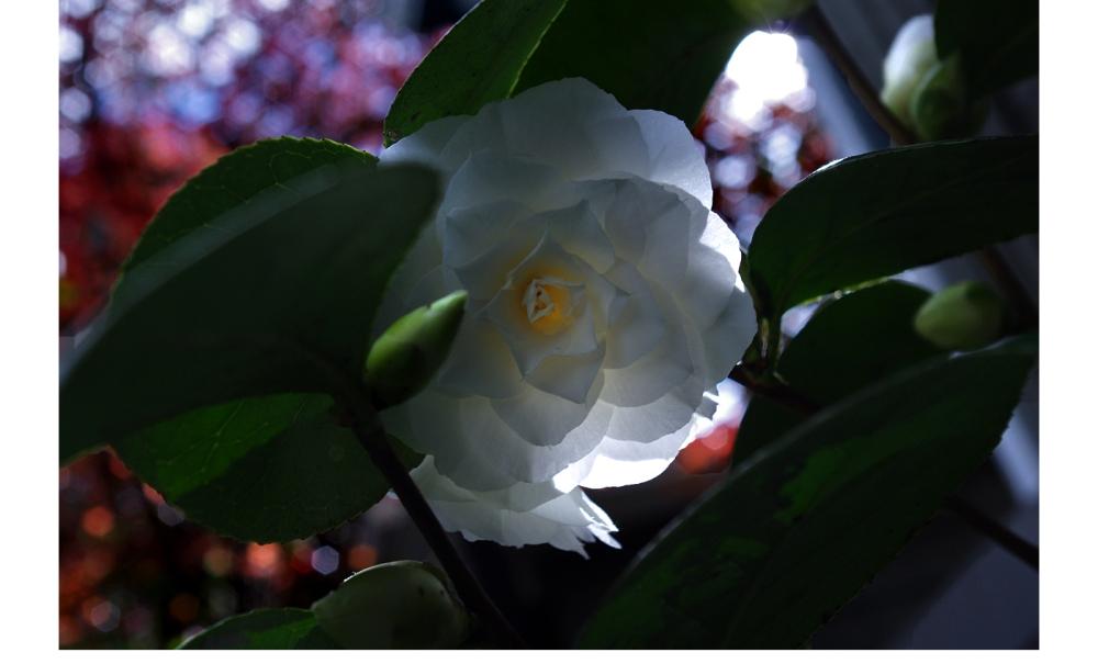 camellia viii