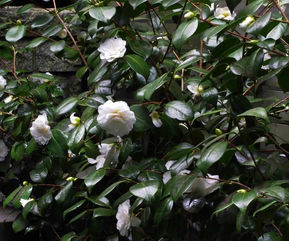 camellia x