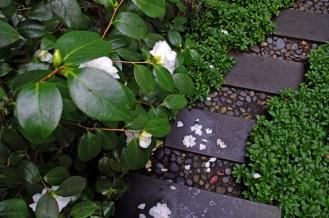 camellia xi