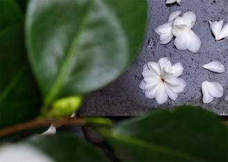 camellia xii