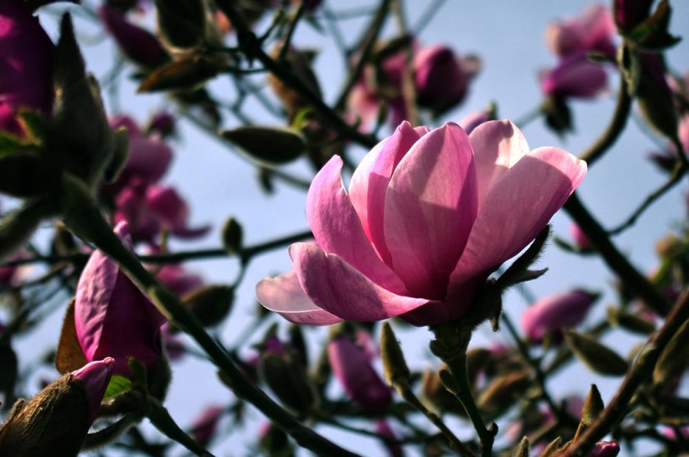 Magnolia vi