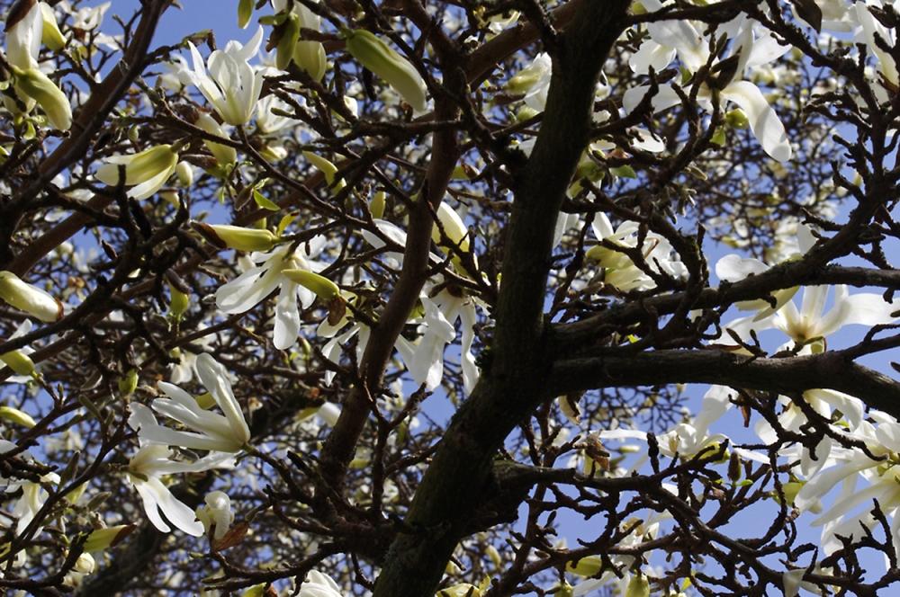 Magnolia vii