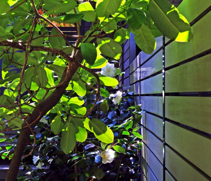 camellia ix