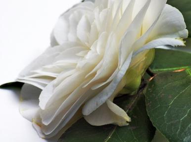 camellia persp i