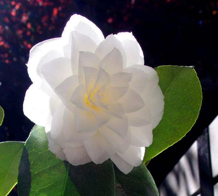 camellia v