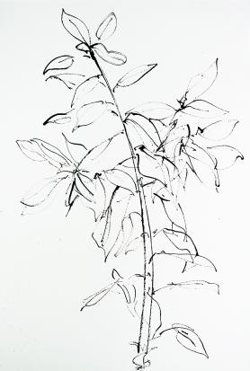 photinia iv