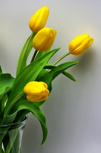 tulips-x