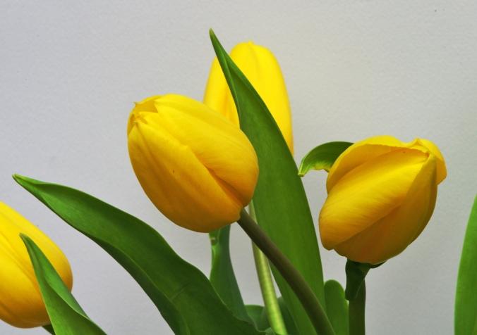 tulips-xii