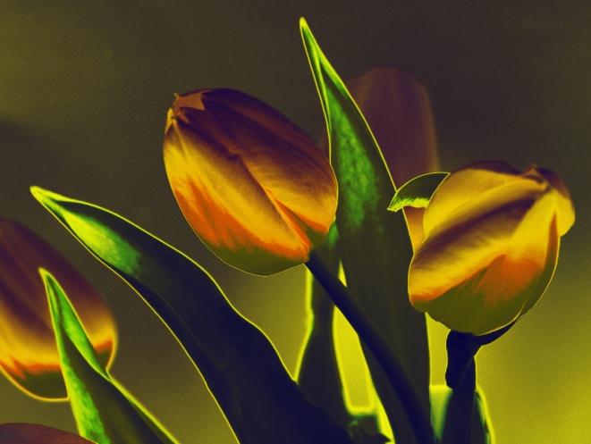 tulips-xiii
